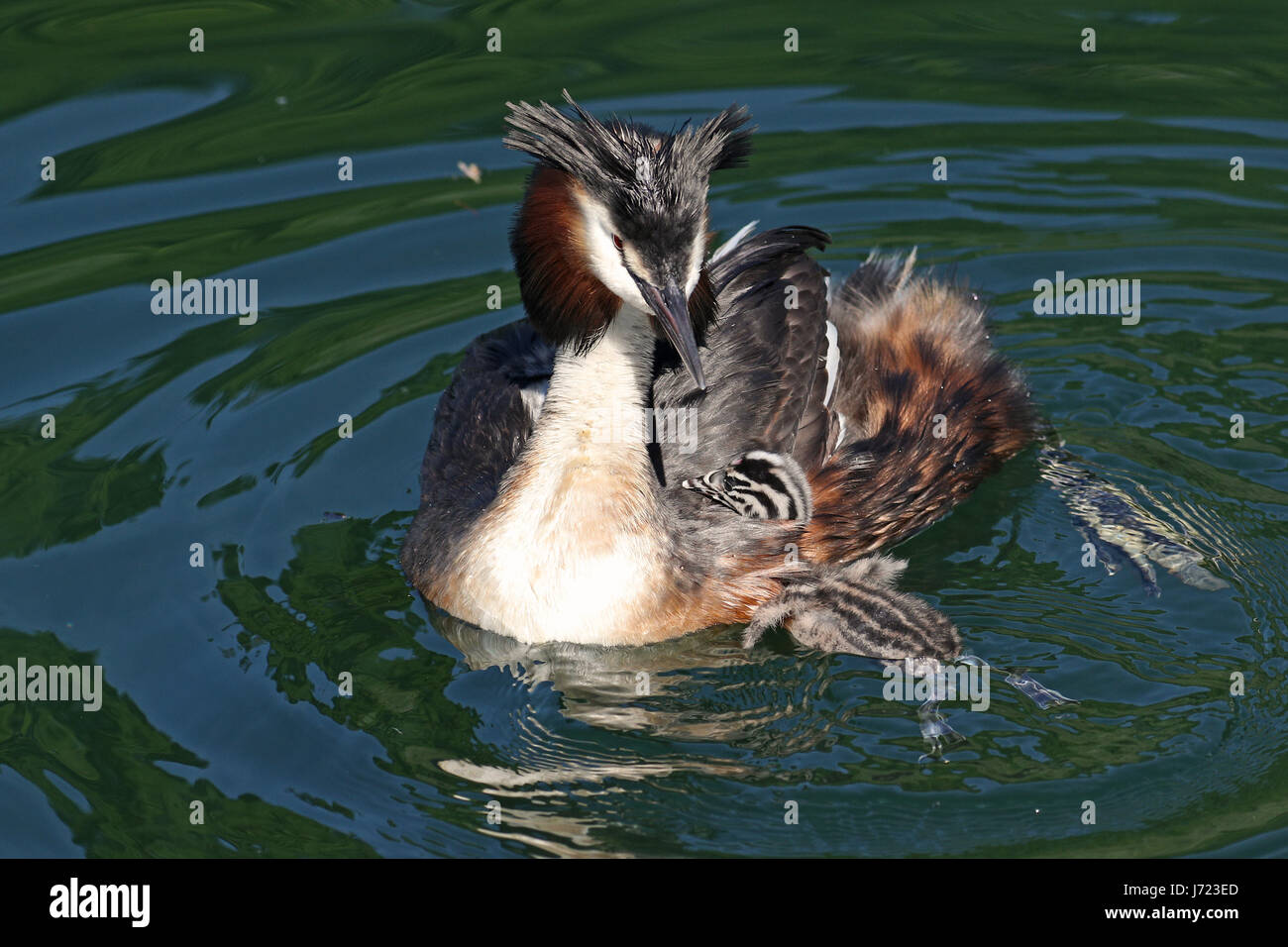Great crested grebes, Podiceps cristatus, with baby chicks swimming in their natural habitat - Stock Image