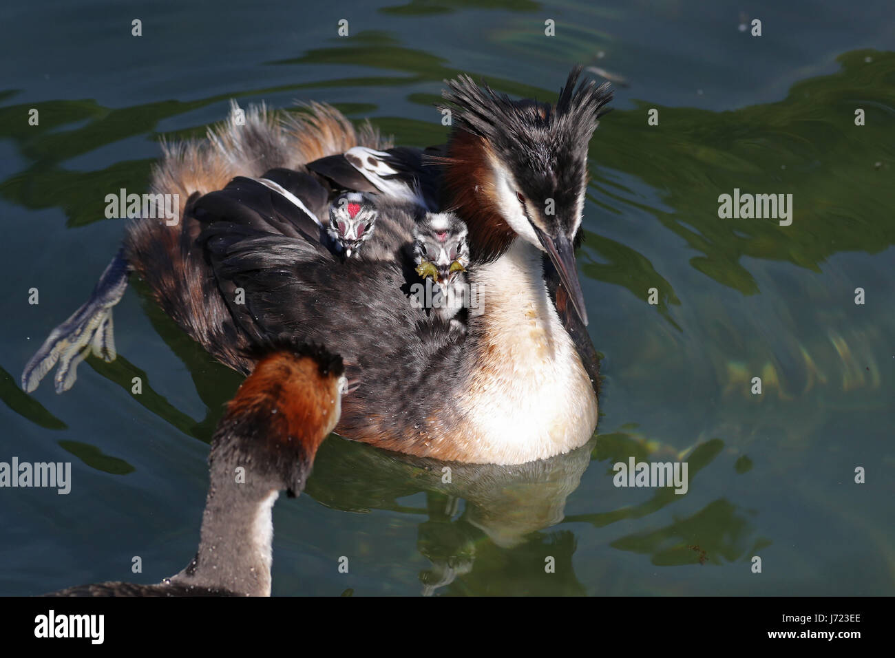 Great crested grebes, Podiceps cristatus, with baby chicks, one with red heart on forehead, on its back being fed - Stock Image