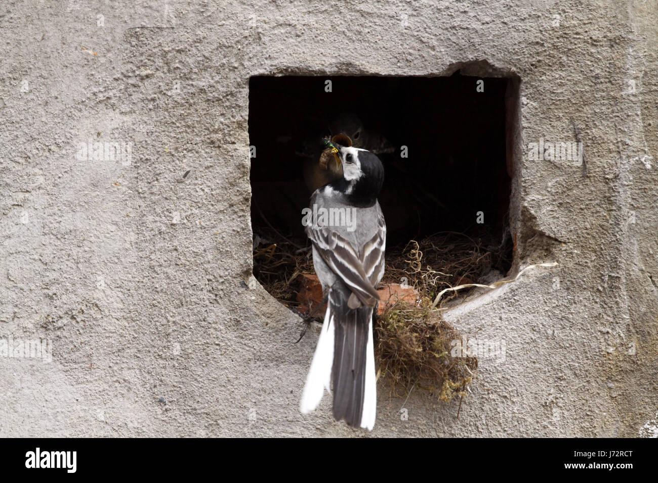wagtails nest (feeding) Stock Photo