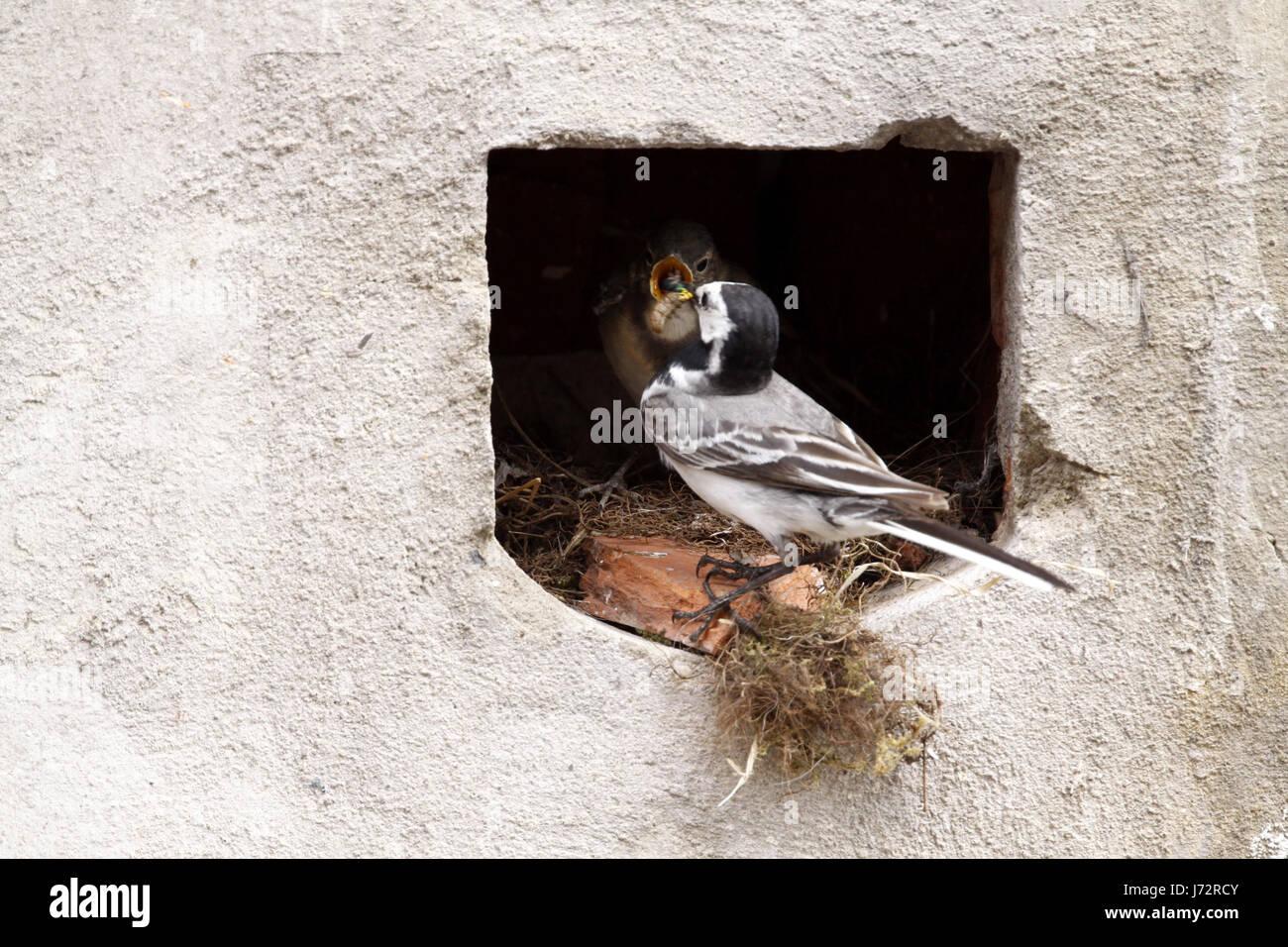 bird birds nest singing-bird bobolinks wagtail stilt bird birds nest feed Stock Photo