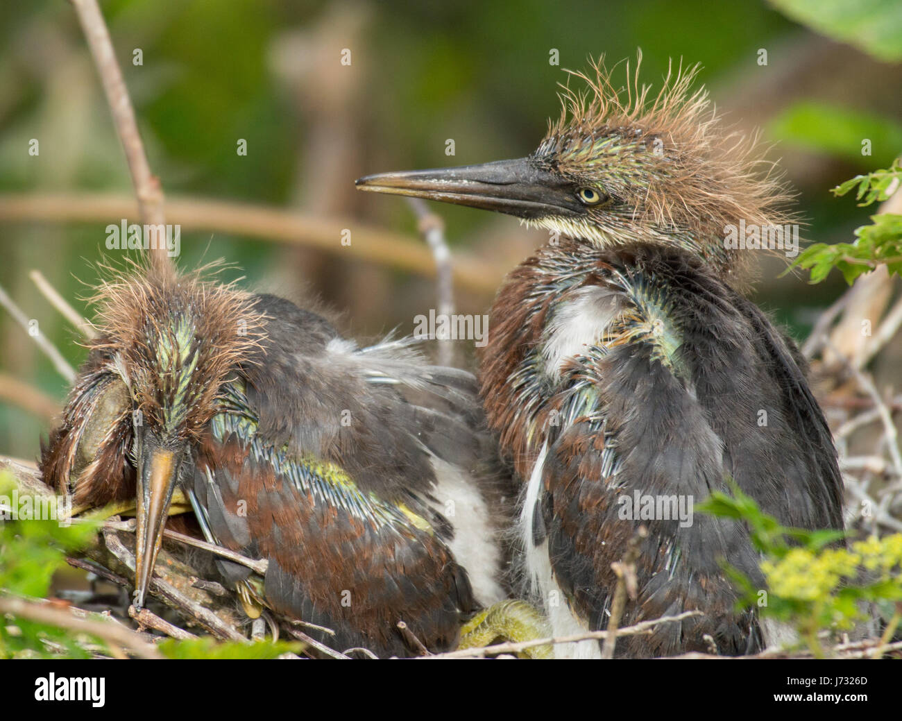 Tricolored Heron Fledglings - Stock Image