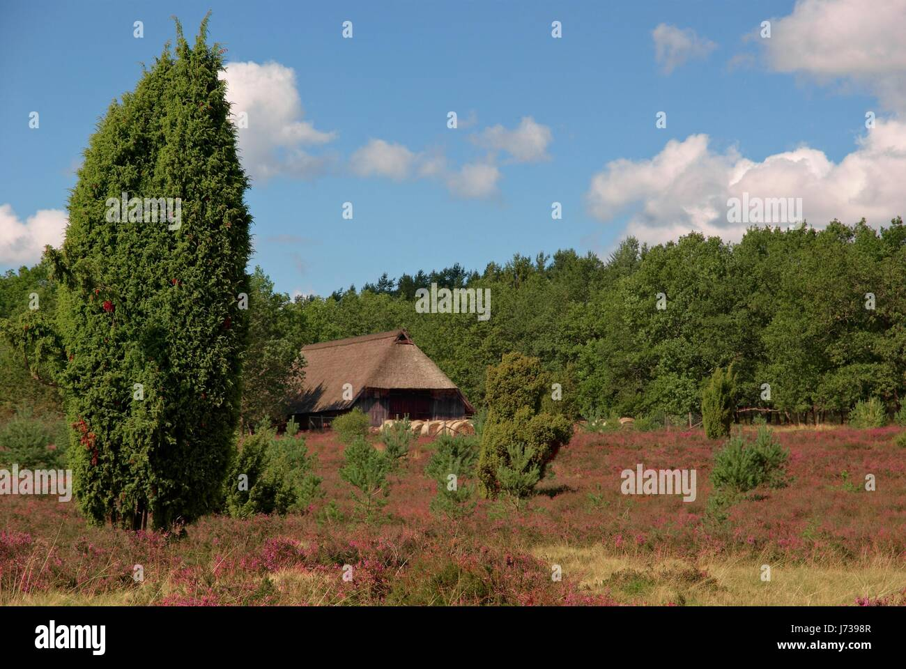 lneburg heath Stock Photo