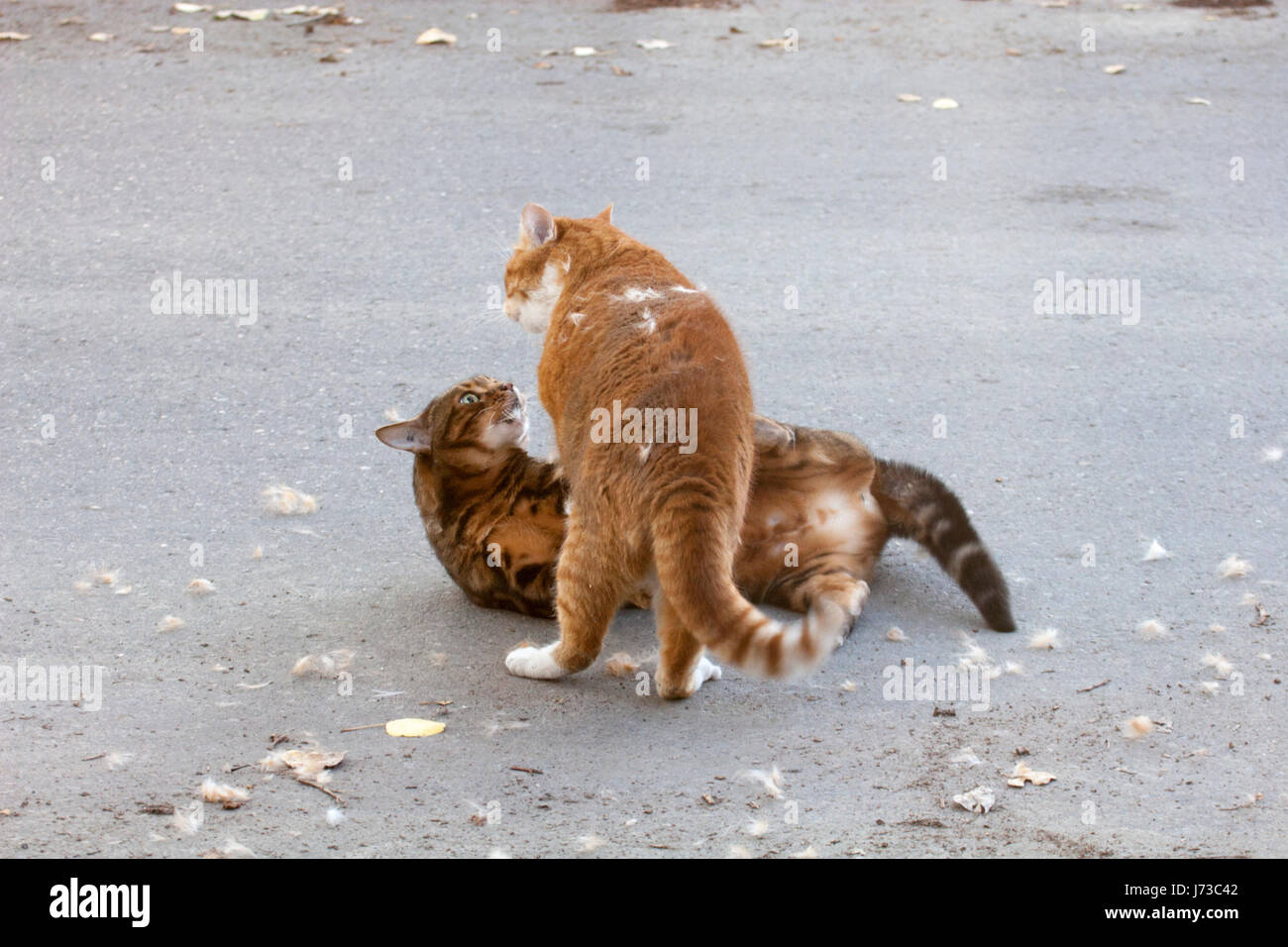 Domestic cats fighting outdoors on the street - Stock Image