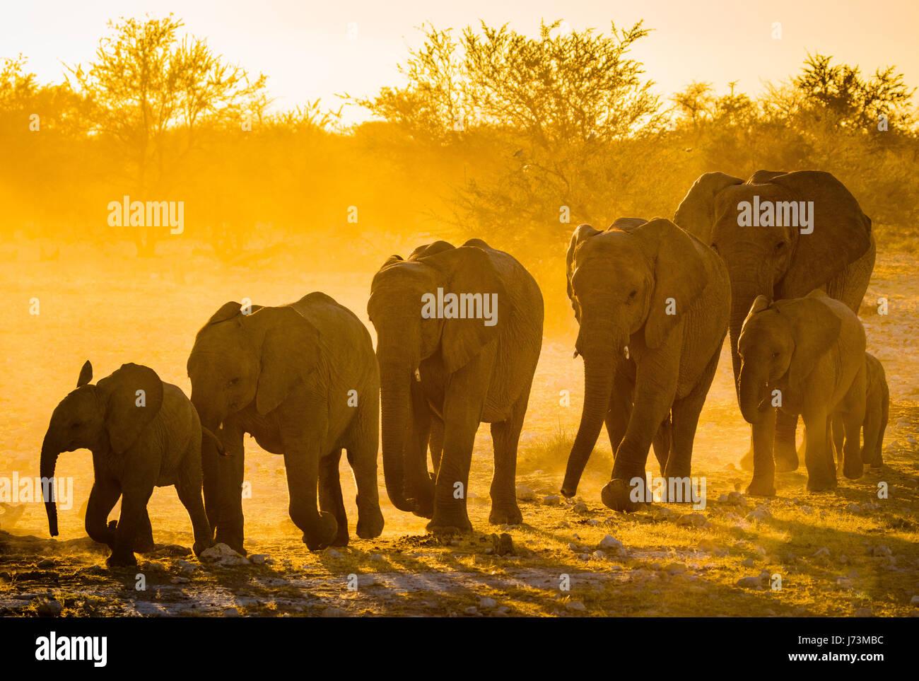 African elephants in Etosha National Park.   African elephants are elephants of the genus Loxodonta. The genus consists - Stock Image