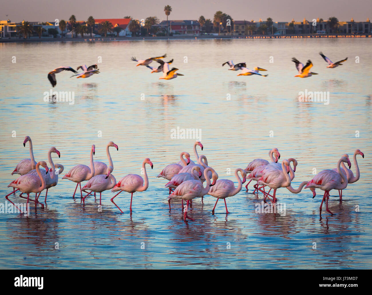 Flamingos are a type of wading bird in the genus Phoenicopterus, the only genus in the family Phoenicopteridae. - Stock Image