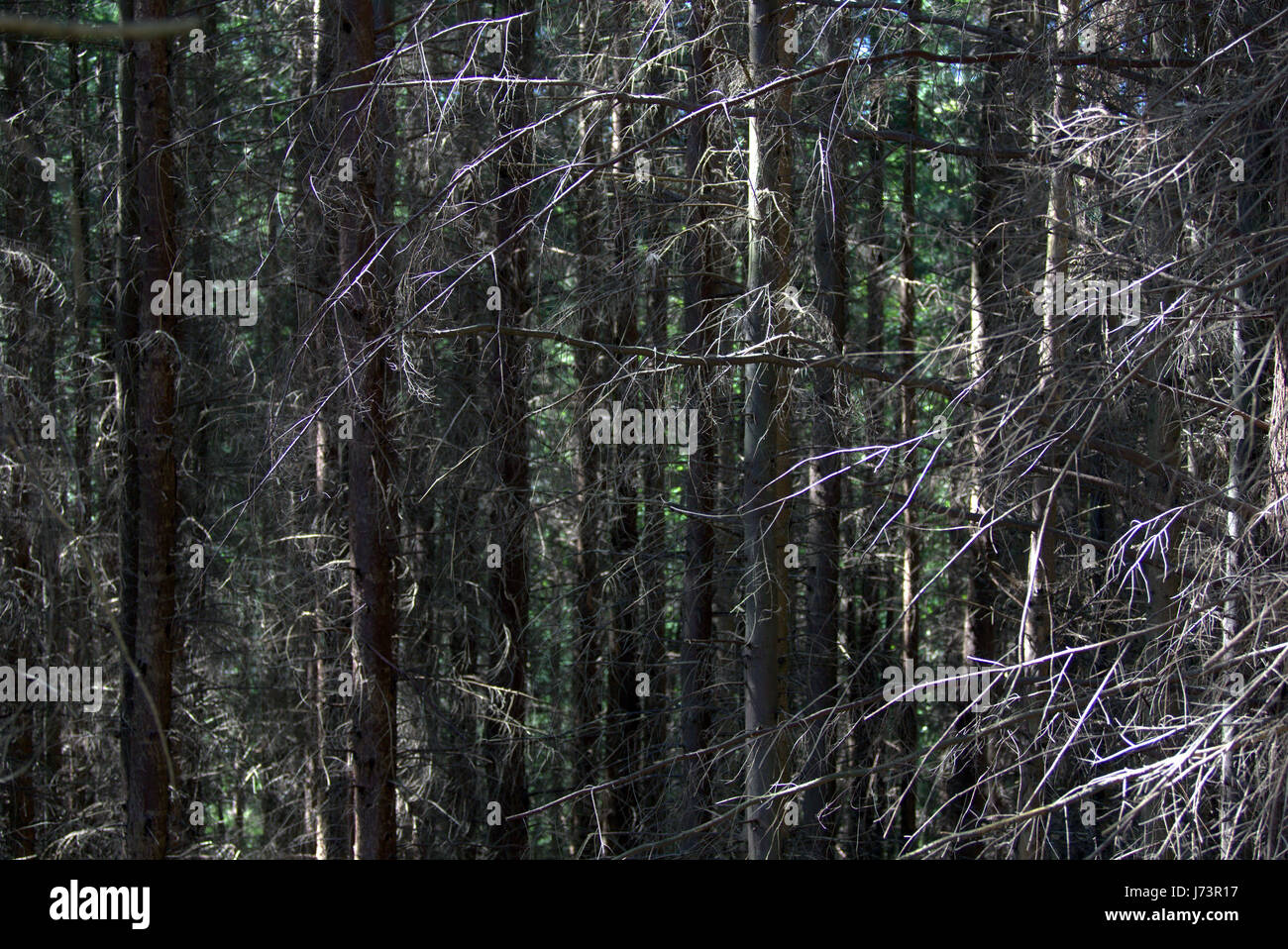 Chatelherault Country Park dense forest woofs background - Stock Image