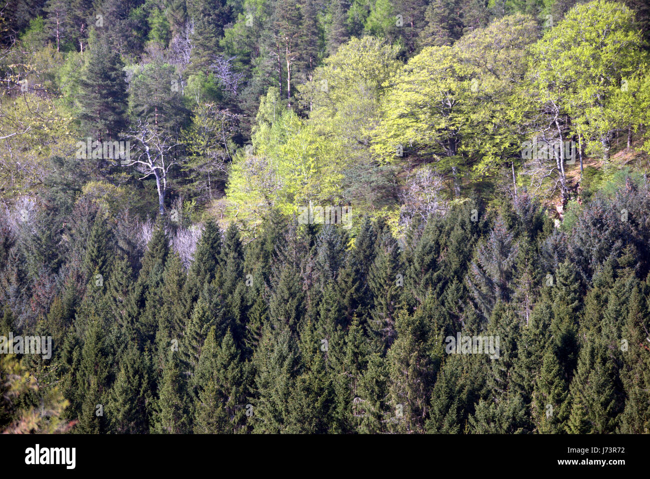 Chatelherault Country Park spring landscape of trees forest woods on the side  of the river Avon gouge - Stock Image