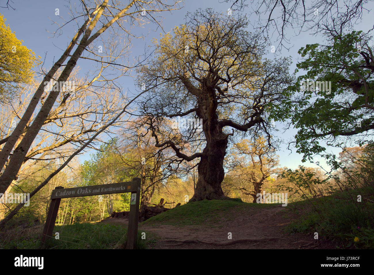 Chatelherault Country Park ancient oaks ents - Stock Image
