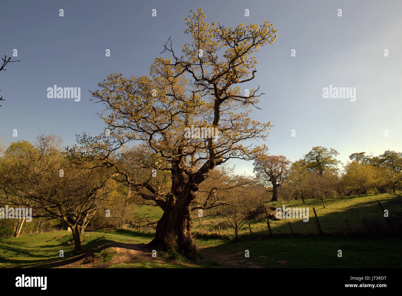 Chatelherault Country Park Cadzow Oaks, Hamilton High Parks, Hamilton, South Lanarkshire - Stock Image