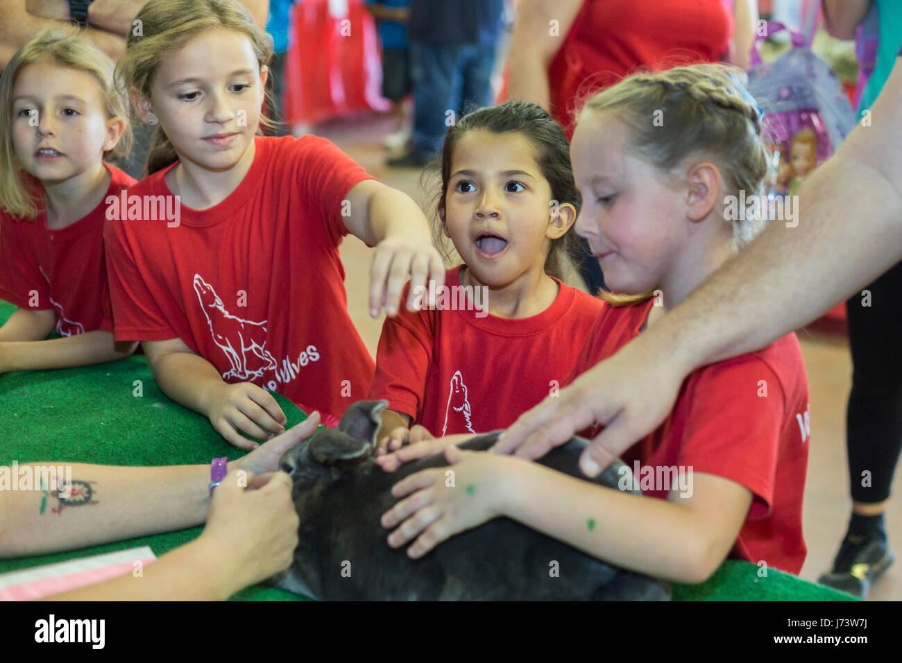 Phoenix, Arizona - Children pet Rex, a therapy rabbit, at the Maricopa County Fair. - Stock Image