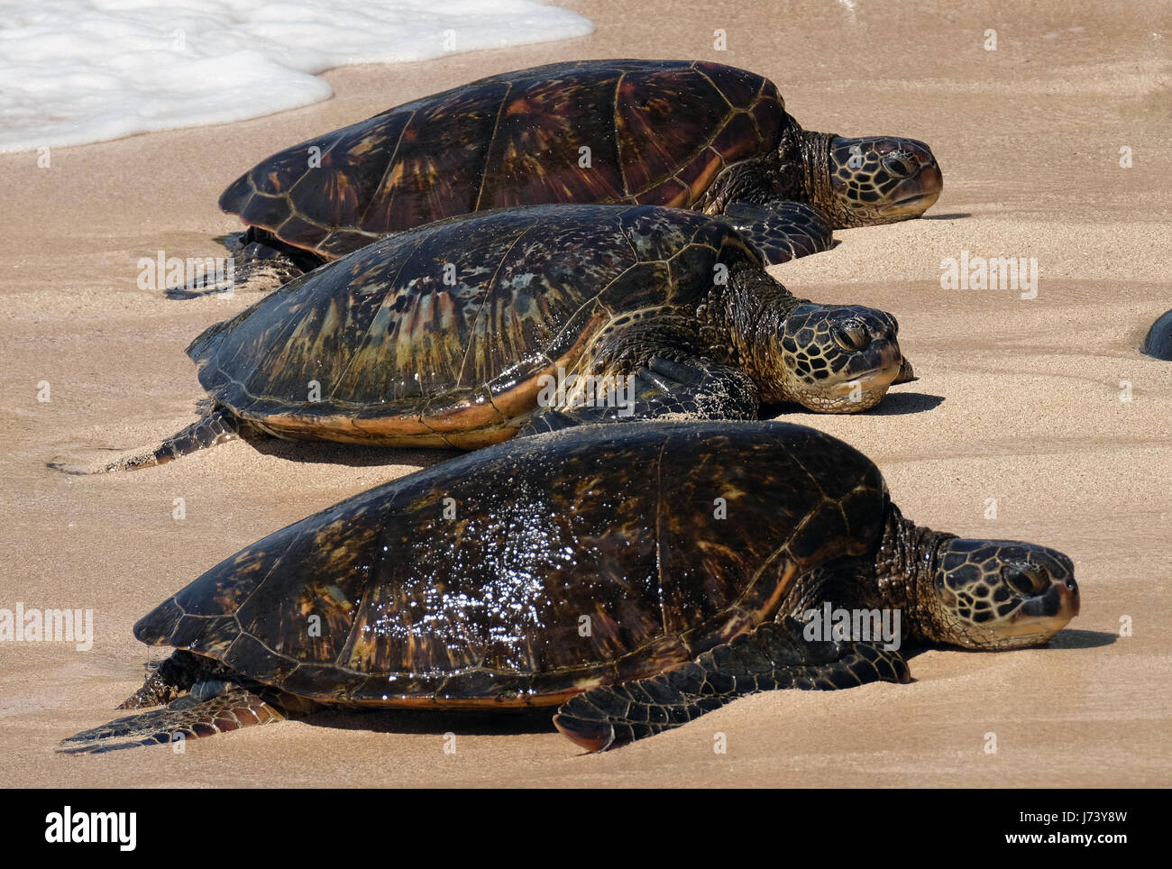 Green Sea Turtles (Chelonia mydas) resting on the beach at Ho'okipa Beach Park, Paia, Maui, Hawaii. - Stock Image