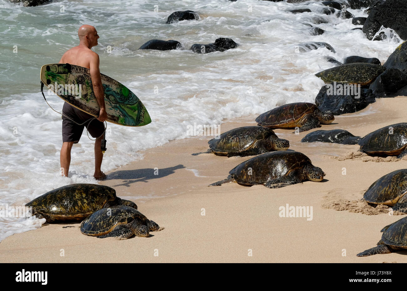 A surfer walks past a group of resting Hawaiian Green Sea Turtles at Hookipa Beach park, Paia, Maui, Hawaii. - Stock Image
