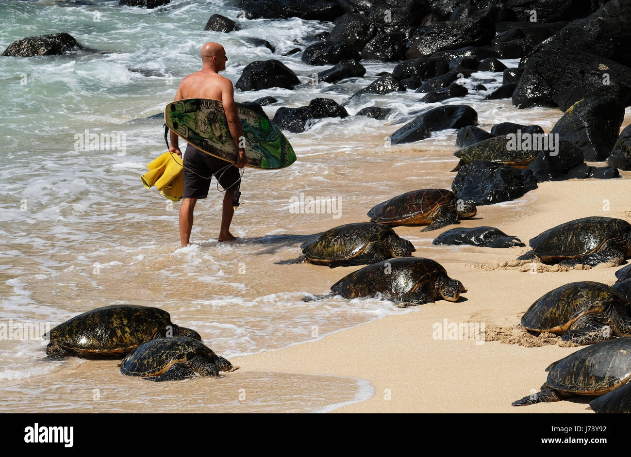 A surfer walks past a group of resting Hawaiian Green Sea Turtles at Hookipa Beach park, Paia, Maui, Hawaii. - Stock Image