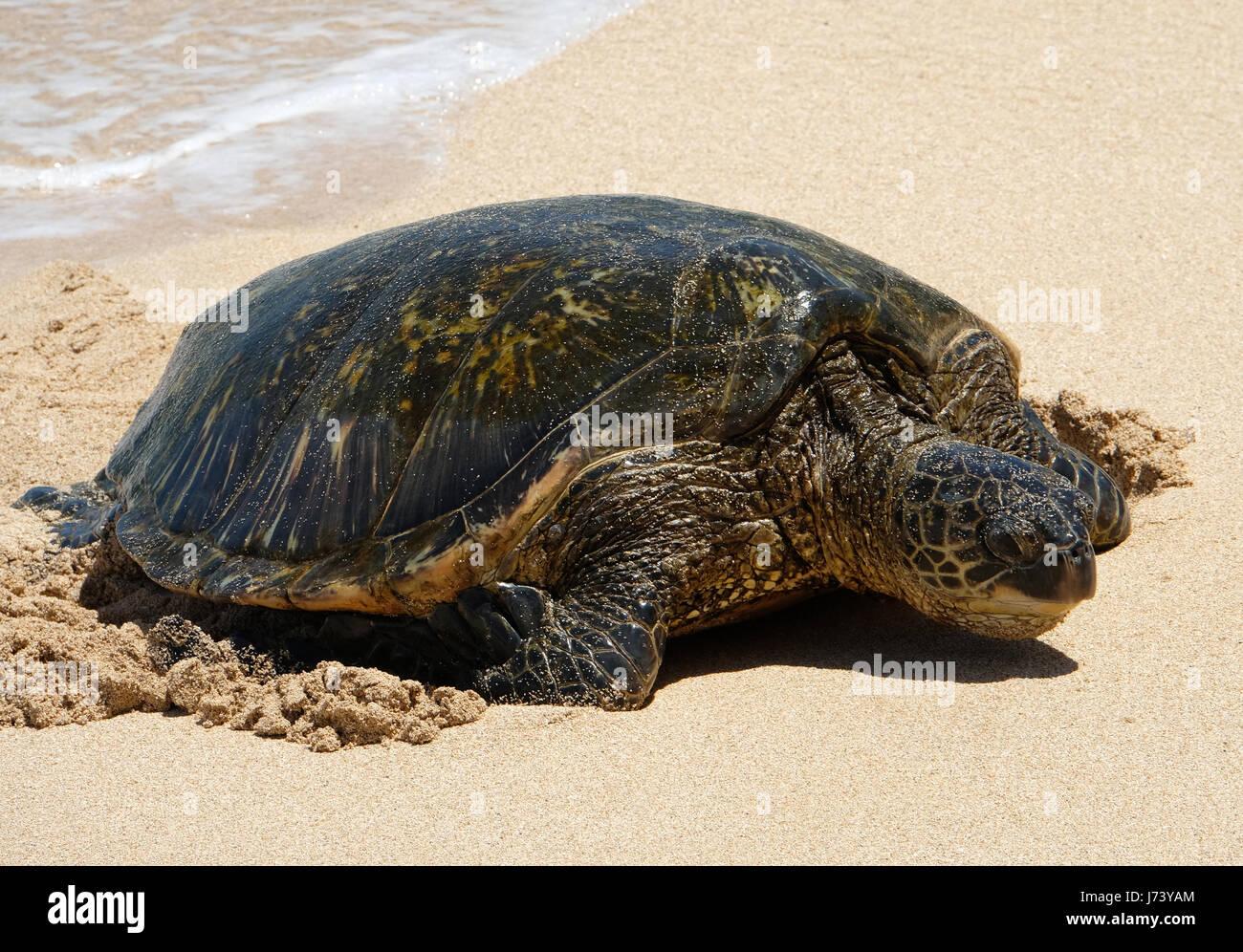 Green Sea Turtles (Chelonia mydas) resting on the beach at Ho'okipa Beach Park, Paia, Maui, Hawaii. Stock Photo