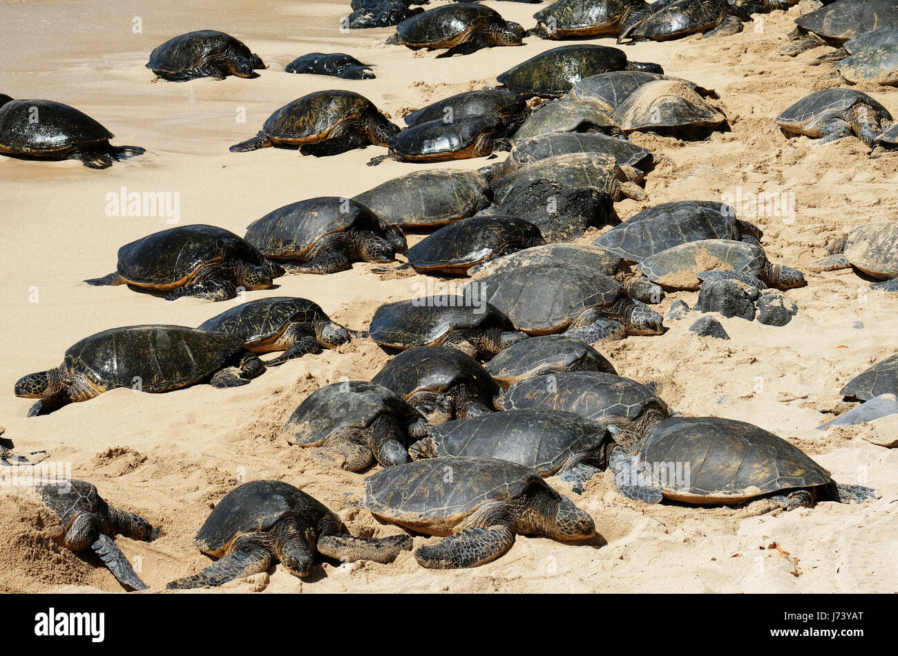 Green Sea Turtles (Chelonia mydas) resting on the beach at Ho'okipa Beach Park, Paia, Maui, Hawaii. - Stock Image