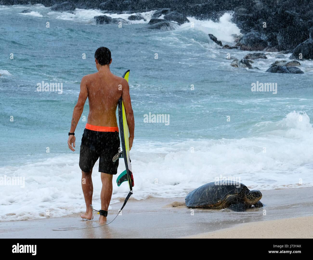 A surfer walks past a Hawaiian Green Sea Turtle coming ashore at Hookipa Beach park, Paia, Maui, Hawaii. - Stock Image