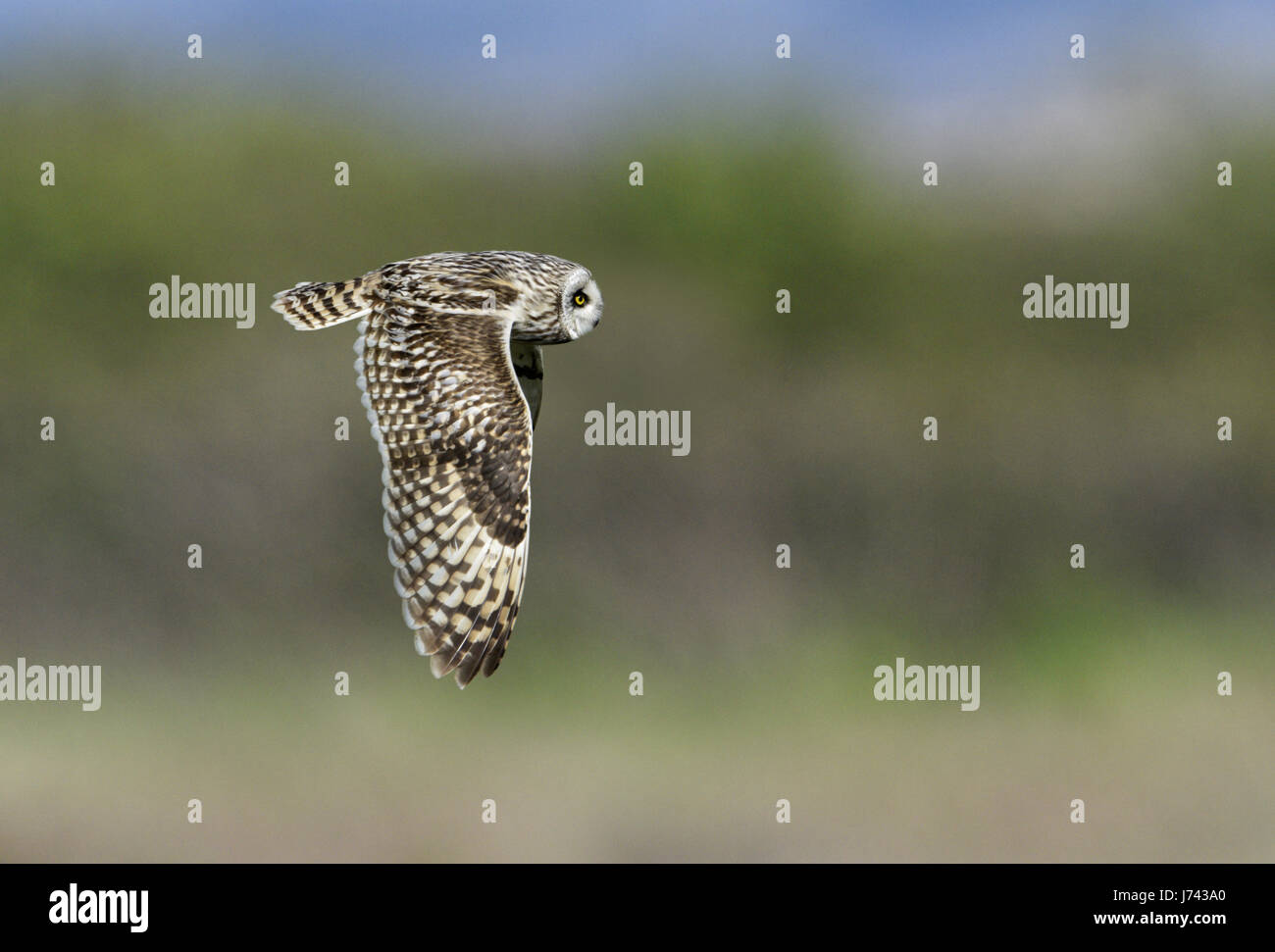 Short-eared Owl - Asio flammeus - Stock Image