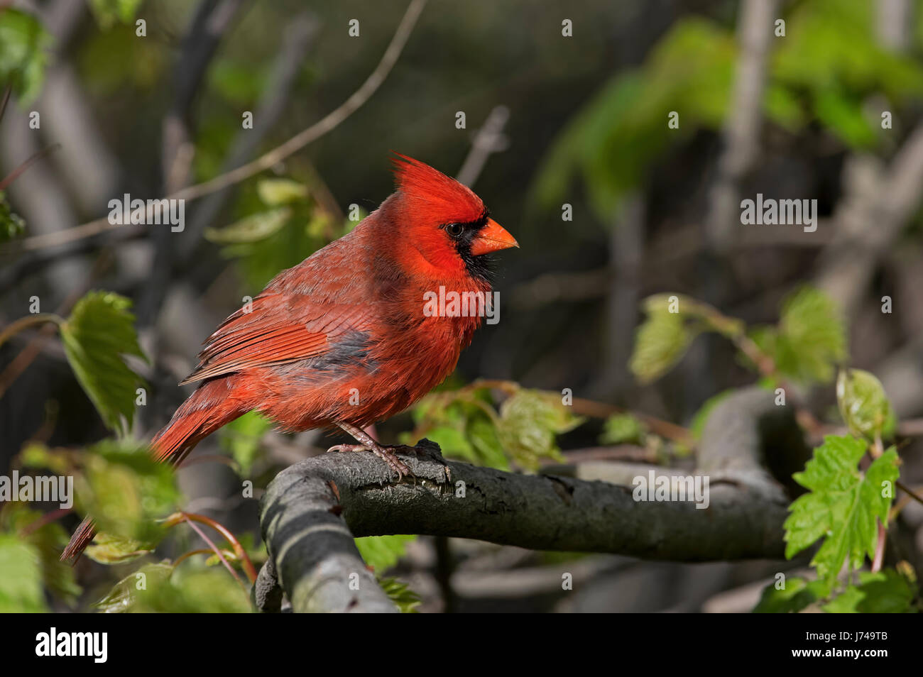 Cardinal perched on a shaded branch in a dark forest. They are in the family Cardinalidae, and are passerine birds - Stock Image