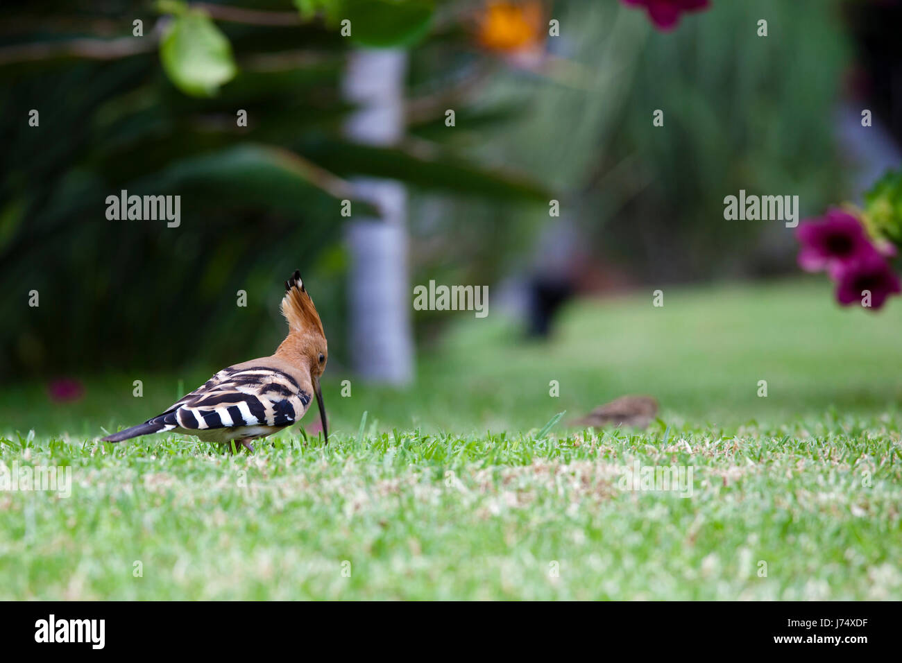 hoopoe on foraging Stock Photo