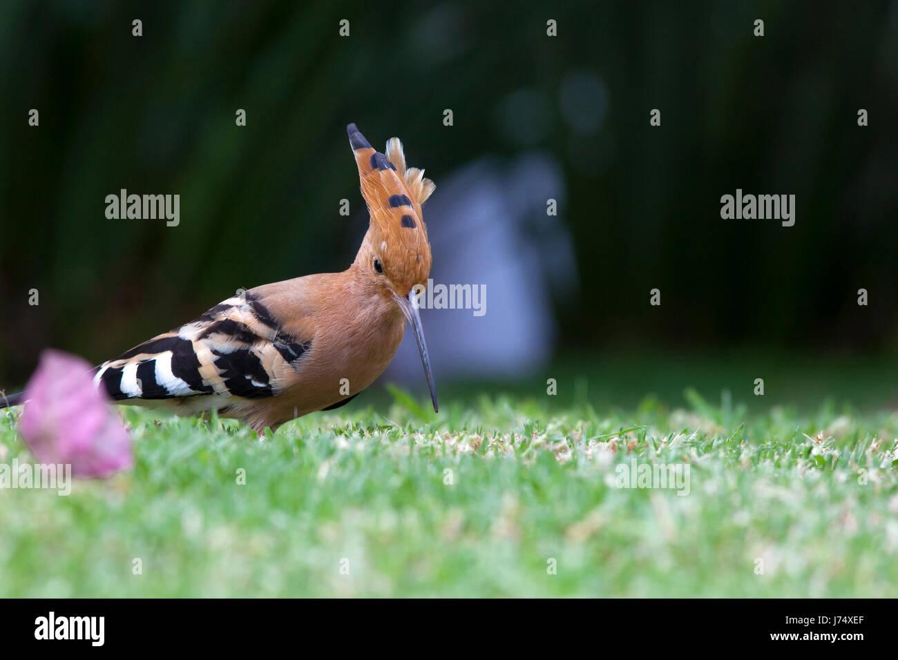 bird birds hoopoe animal bird fauna coloured colourful gorgeous multifarious Stock Photo