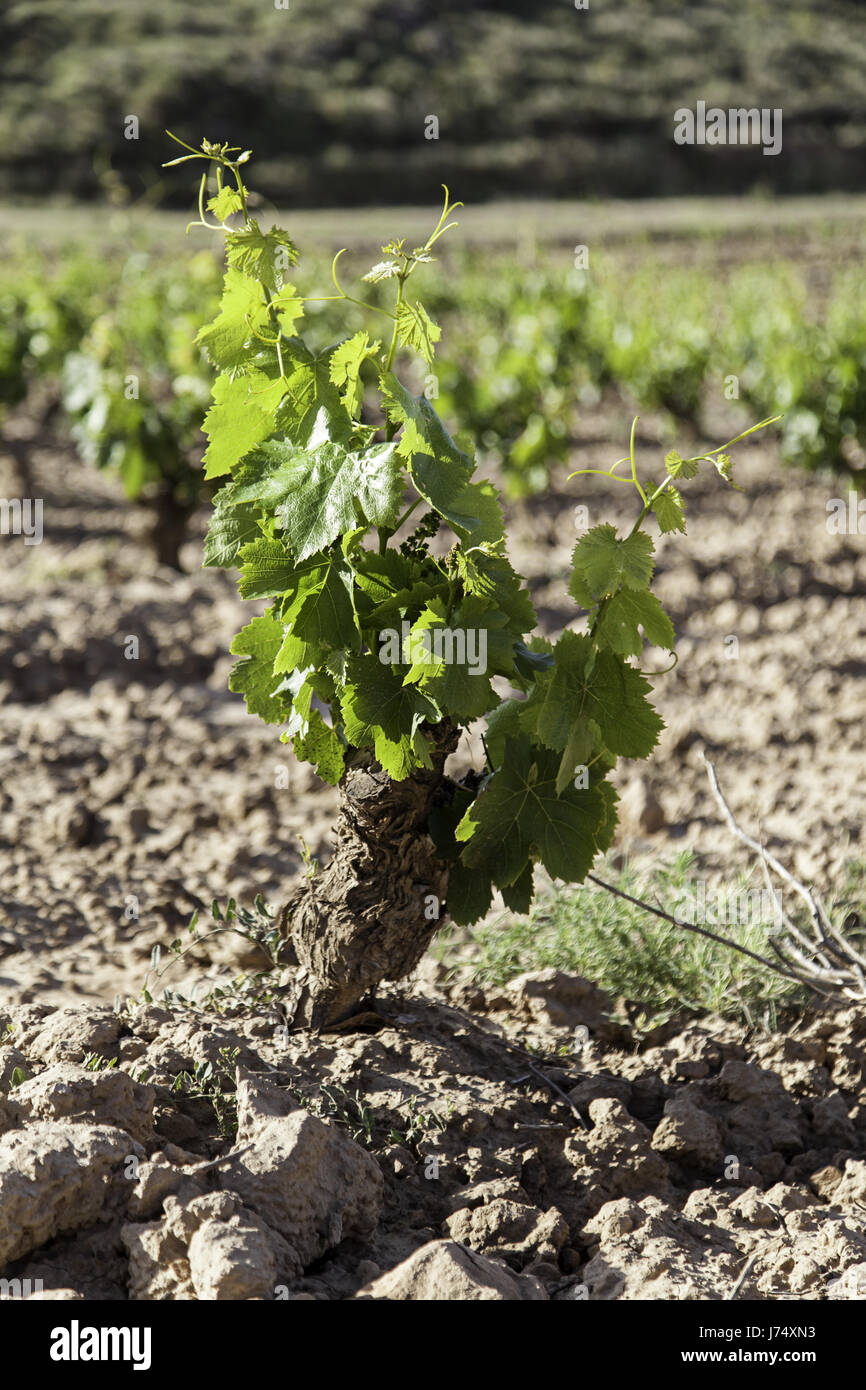 Vineyard, detail of some vineyards in the countryside, vineyards, wine Stock Photo