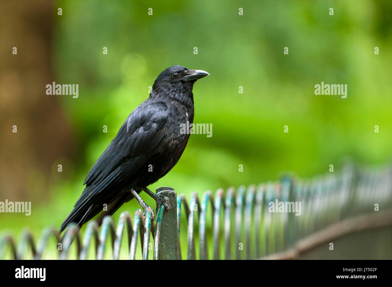 black swarthy jetblack deep black raven lawn green backdrop background close - Stock Image