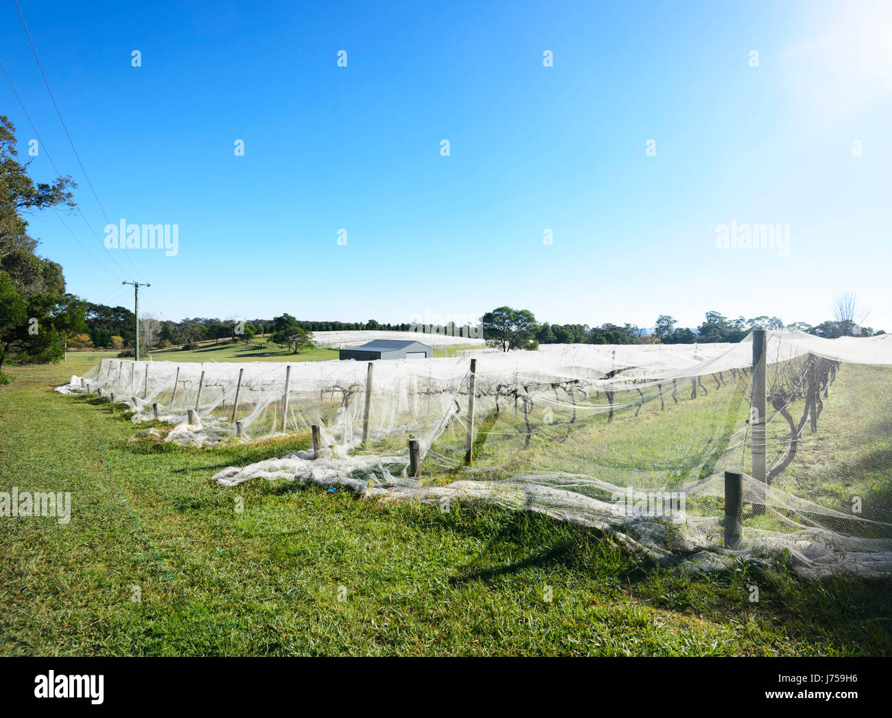Vineyards of the Joadja Winery with protective nets, Southern Highlands, New South Wales, NSW, Australia - Stock Image