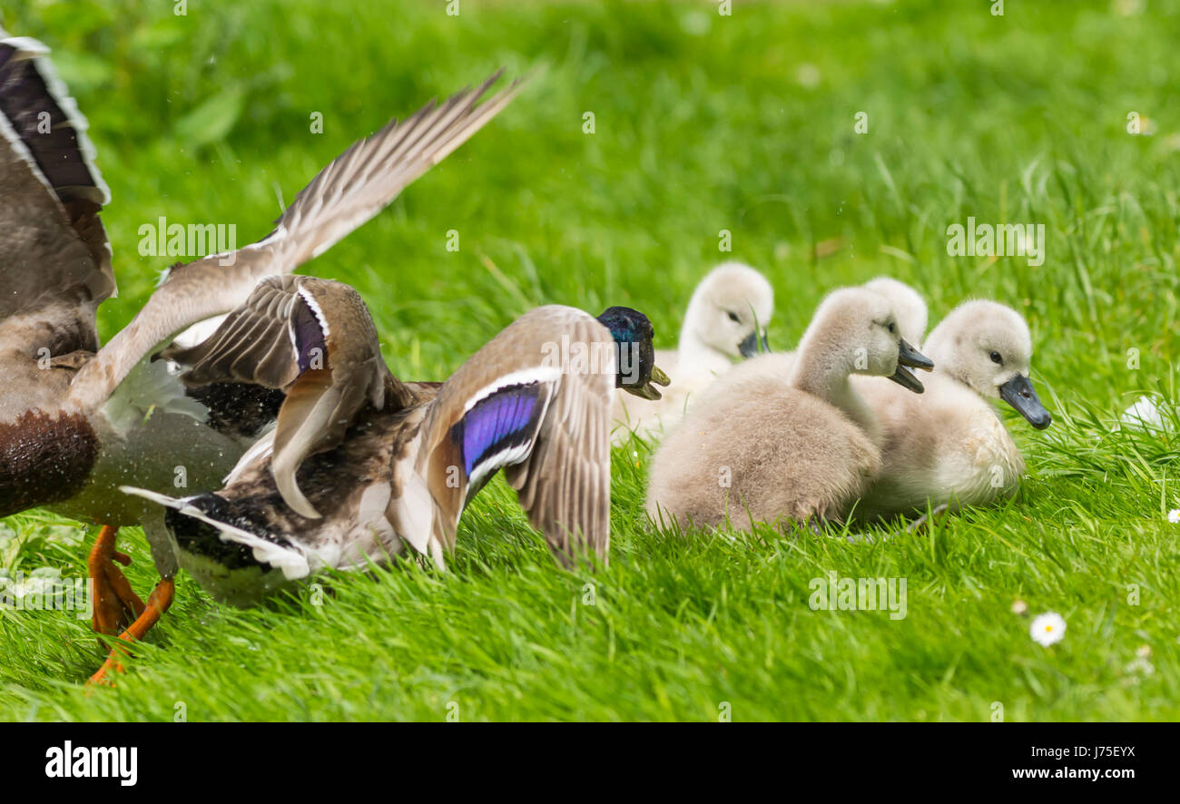 Cygnets (Cygnus olor) facing aggressive Mallard Duck in West Sussex, England, UK. White Mute cygnets, Baby swans. - Stock Image