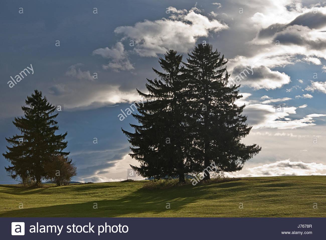 conifers in voralpenland Stock Photo