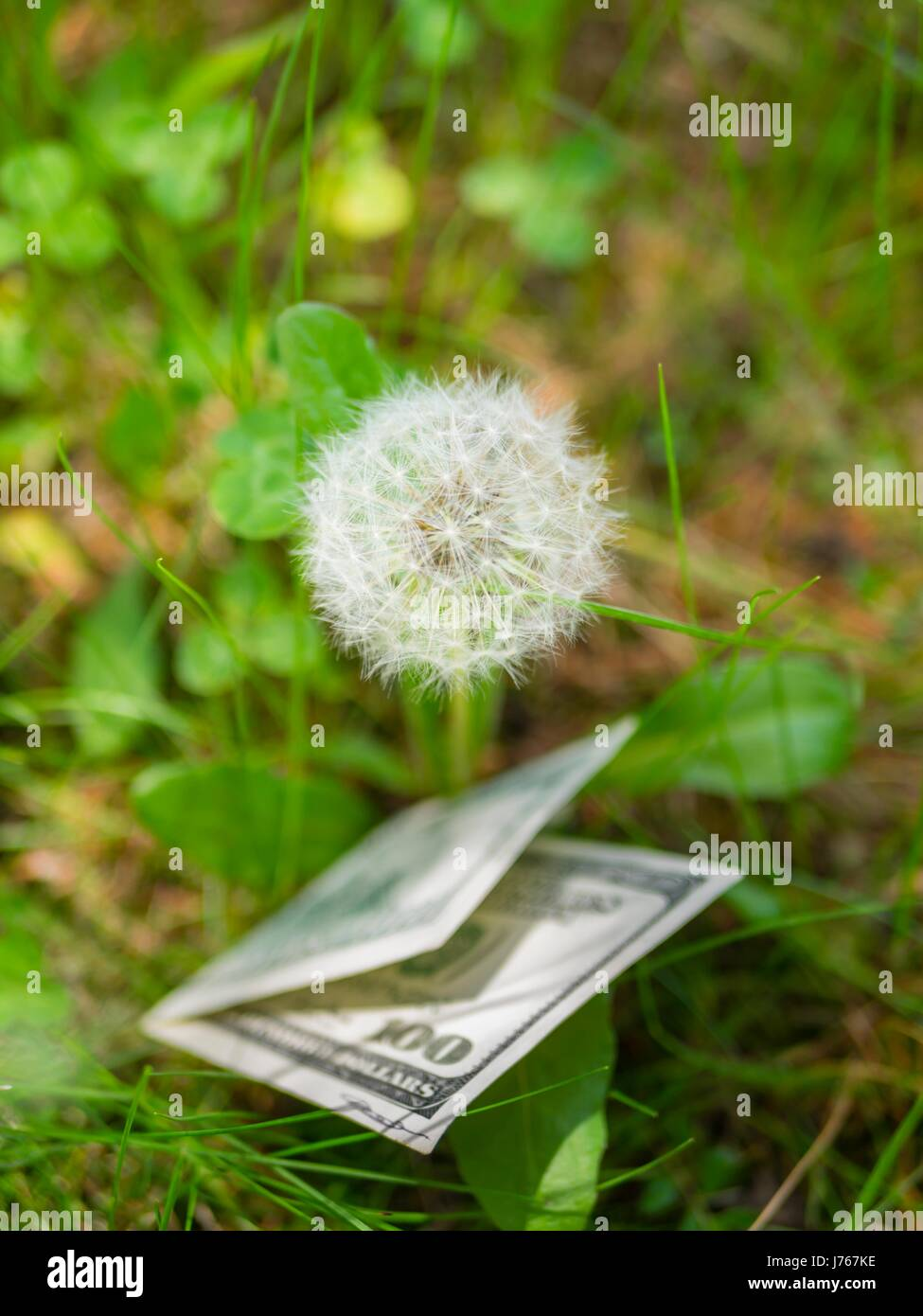 Dandelion and money dollars lying underneath outdoors outdoor - Stock Image