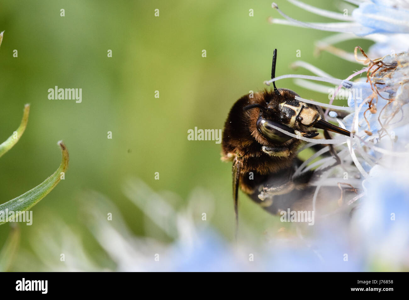Banded bee collecting pollen from Echium flower, Porto Santo Island off Madeira - Stock Image