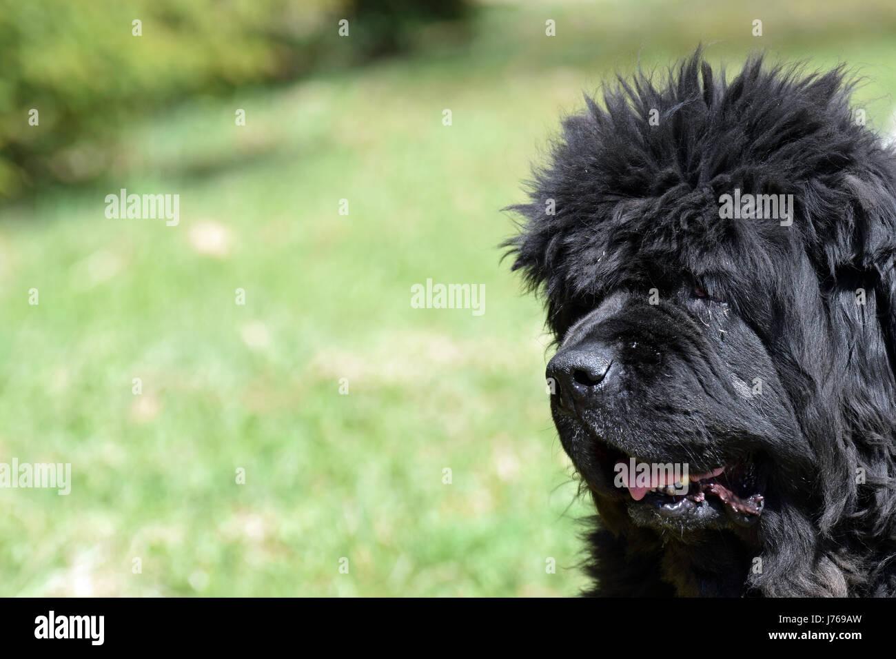 Old newfoundland dog outdoors - Stock Image