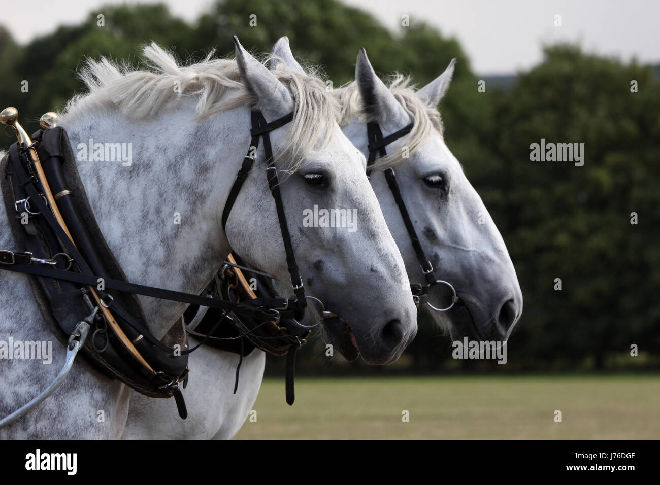 harness cold blooded animal carriage and pair horse animal strong agriculture - Stock Image