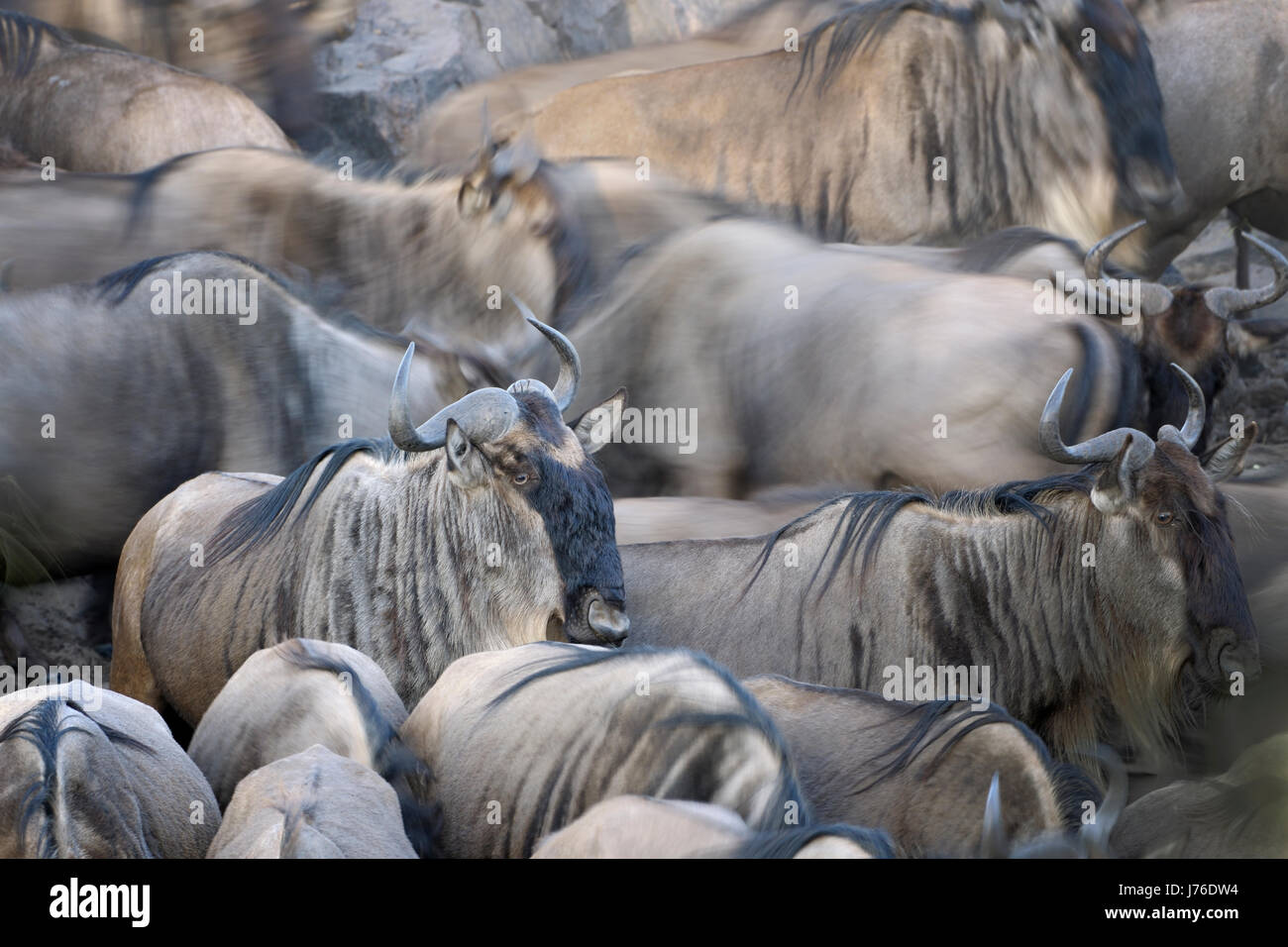Wildebeest (Connochaetes taurinus), gnu, herd close up with partly motion blur, Serengeti national park, Tanzania - Stock Image
