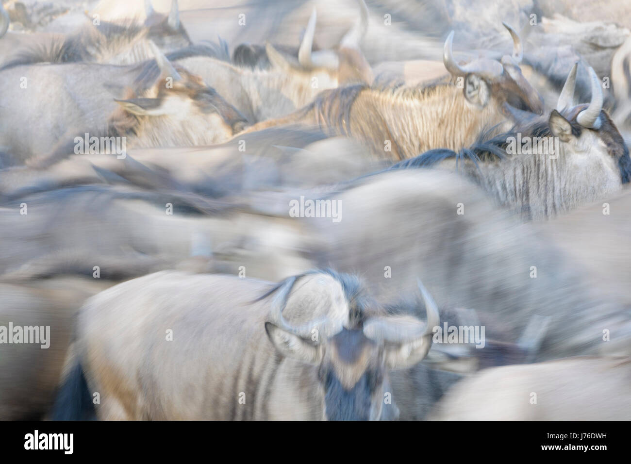 Wildebeest (Connochaetes taurinus), gnu, herd close up with motion blur, Serengeti national park, Tanzania - Stock Image