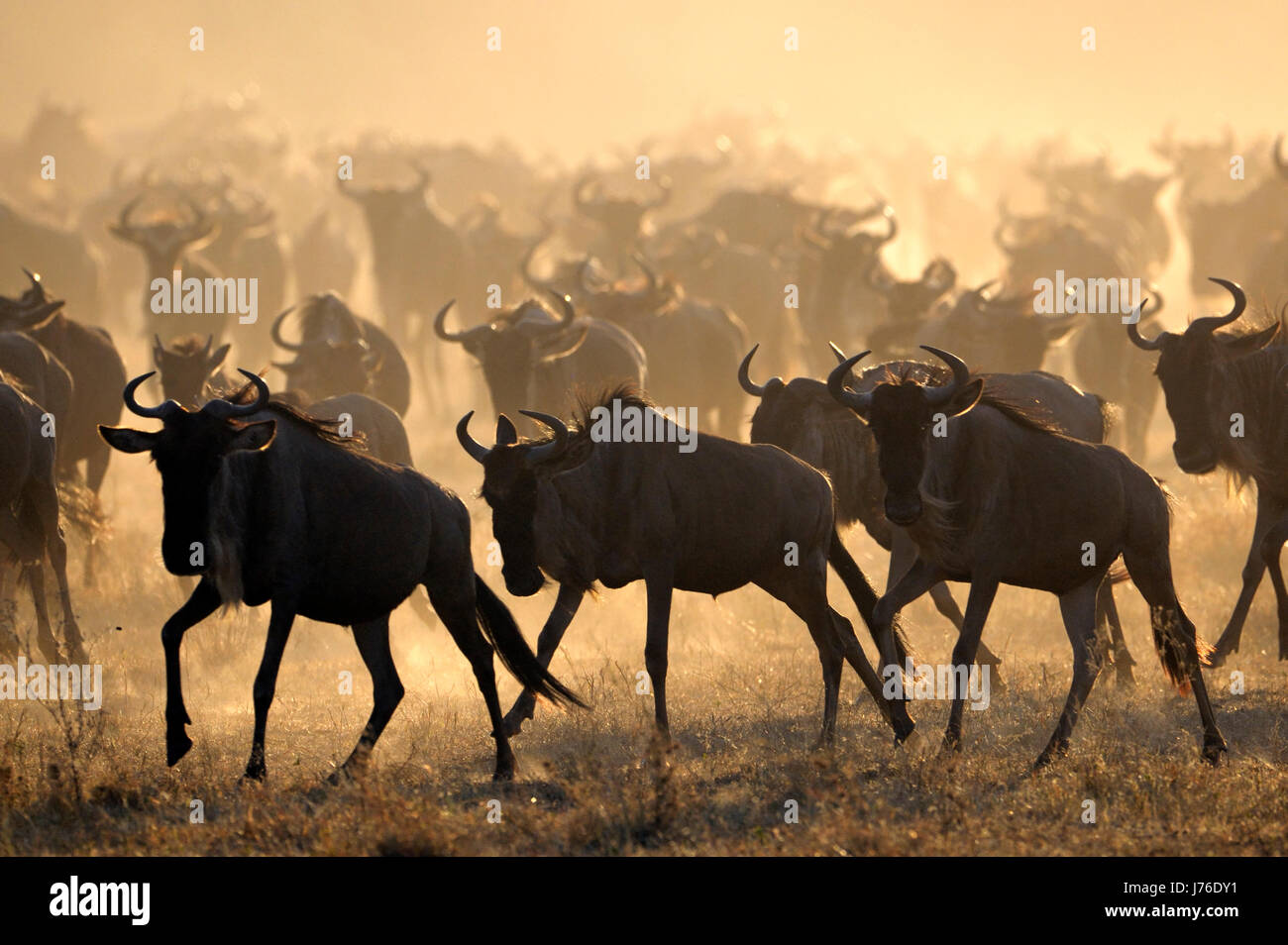 Wildebeests (Connochaetes taurinus) running during migrating at sunrise, Grumeti river, Seregeti national park, - Stock Image