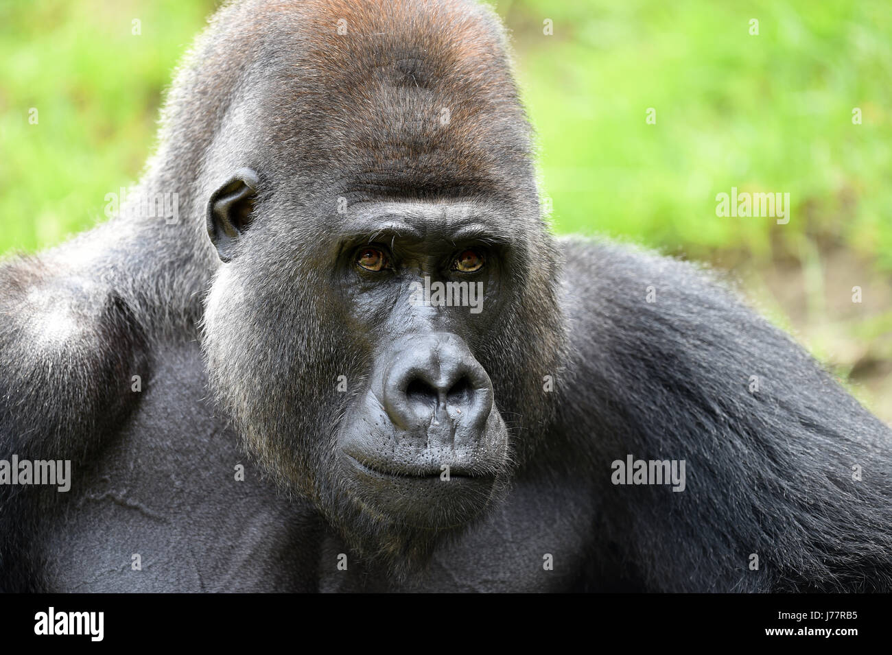 Buzandi, a 25-year-old gorilla, looks at visitors from an open-air enclosure in Hanover Zoo in Hanover, Germany, - Stock Image