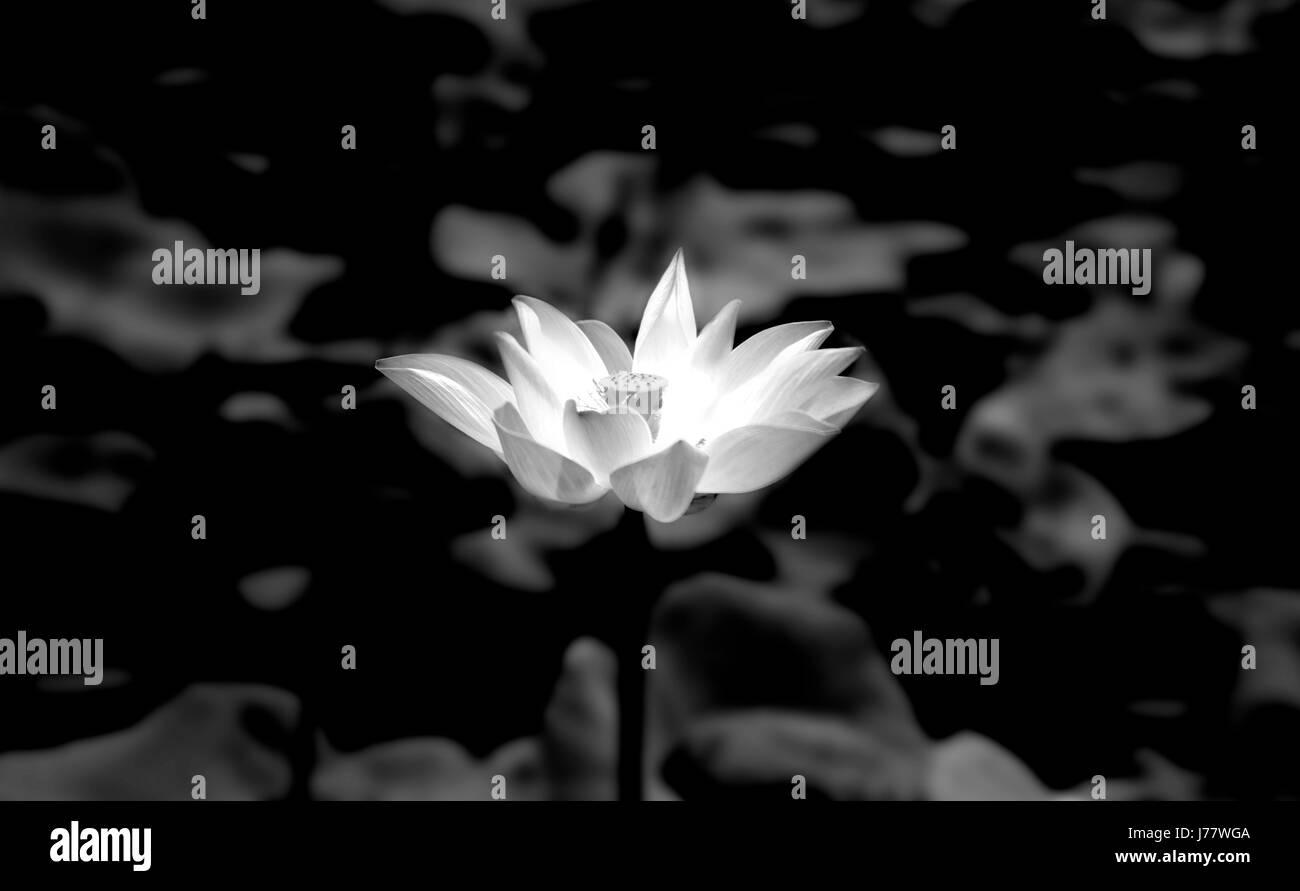 Lotus Flower Growing on a Lake - Stock Image