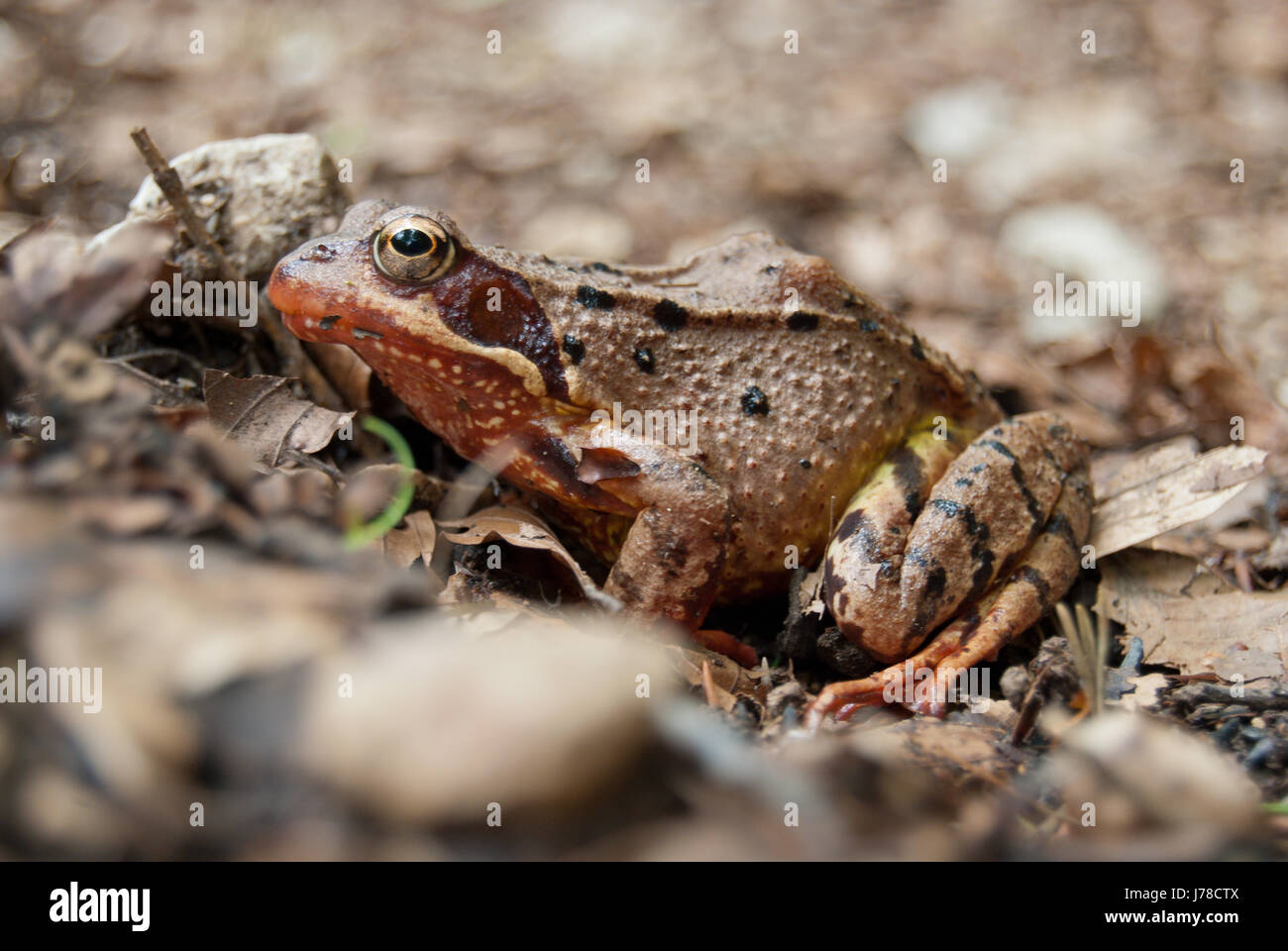 Common frog (Rana temporaria) - Stock Image