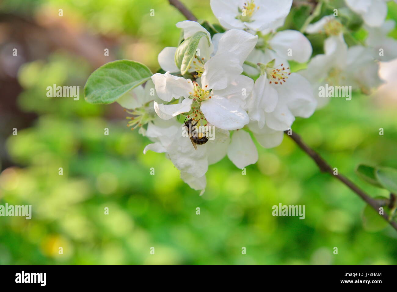 A Bee Is Sitting On Apple Tree Branch With White Flowers In Summer