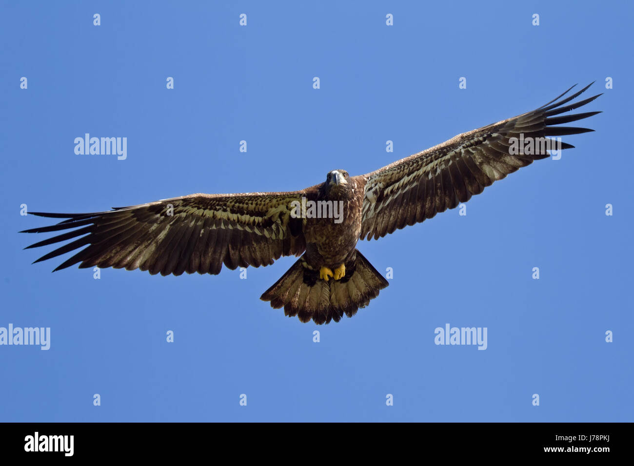 weisskopfseeadler Stock Photo