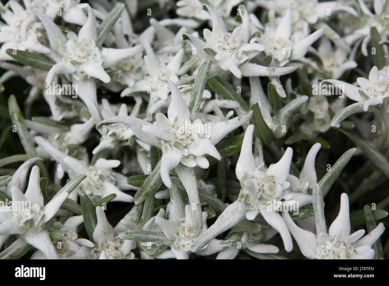 Edelweiss flowers stock photos edelweiss flowers stock images alamy edelweiss flowers in the swiss alps the flowers are symbols of love stock mightylinksfo