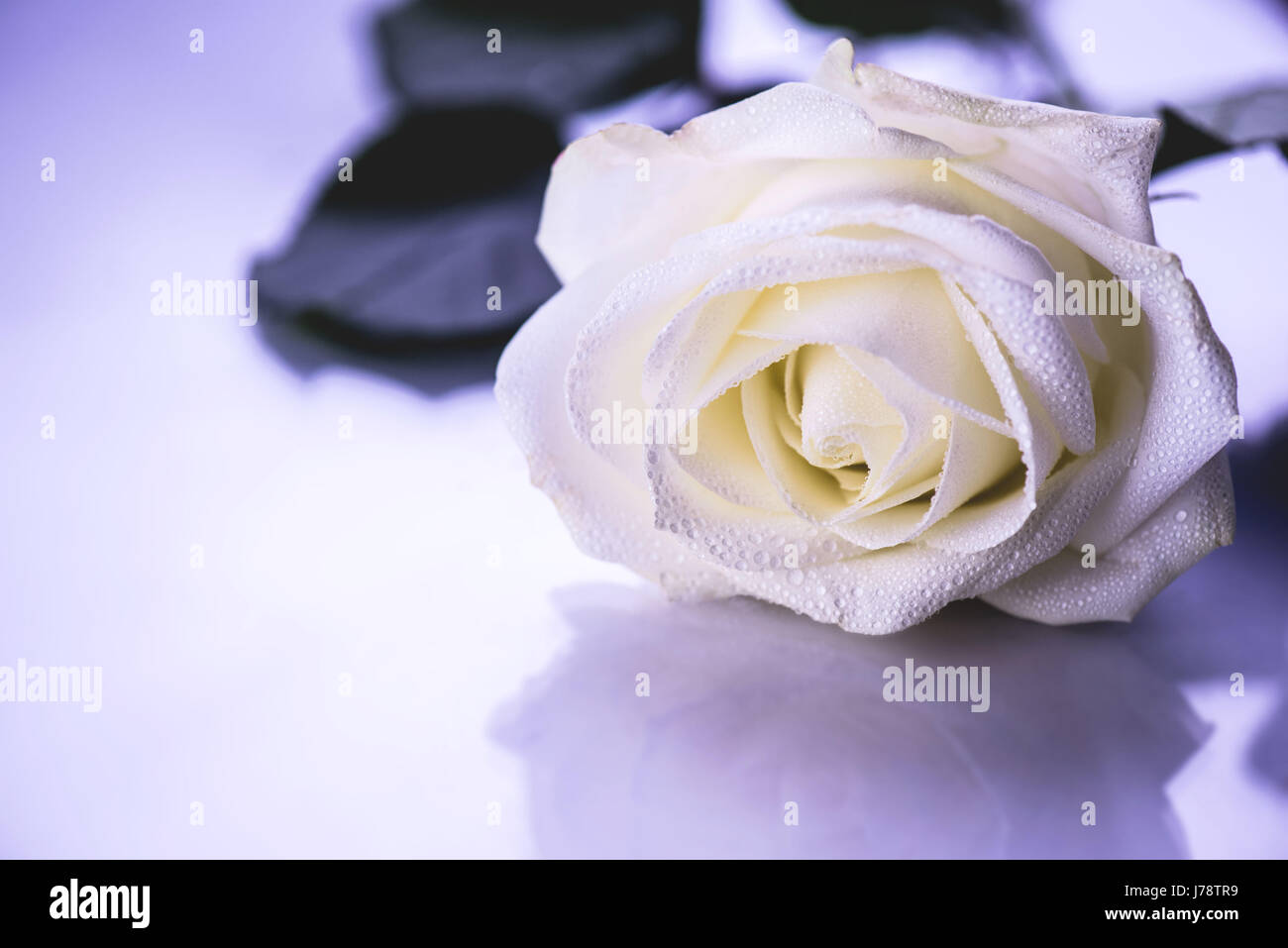 A gentle rose in dewdrops on a mirror table - Stock Image