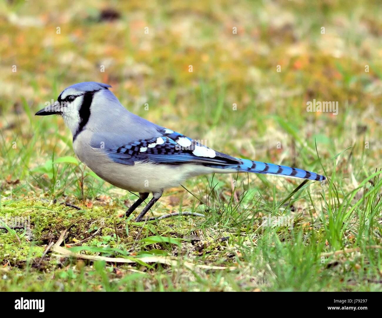 Blue Jay - Cyanocitta cristata Stock Photo