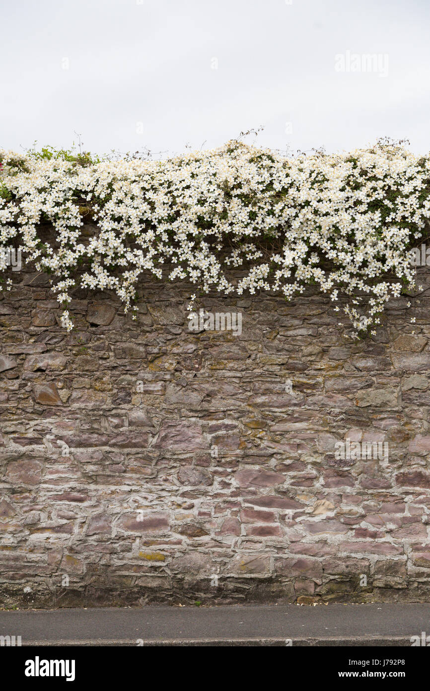 Flowers Overgrowing Ancient Stone Wall In Ireland In Spring Stock