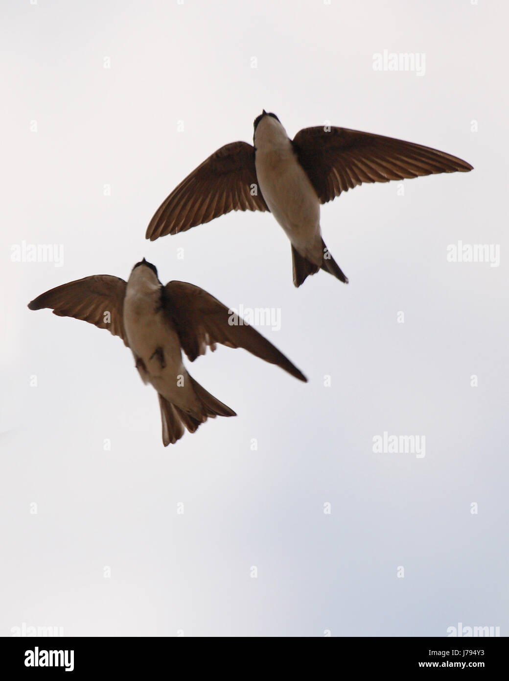 A pair of Tree Swallows flying close in parallel flight. Stock Photo