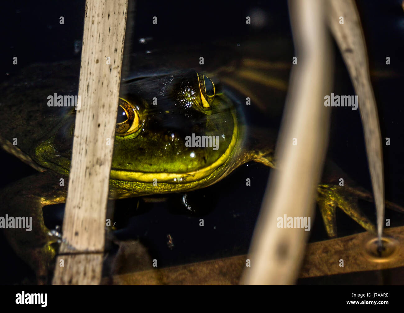 An American Bullfrog hiding in the reeds at Beaver Lake at Stanley Park Stock Photo