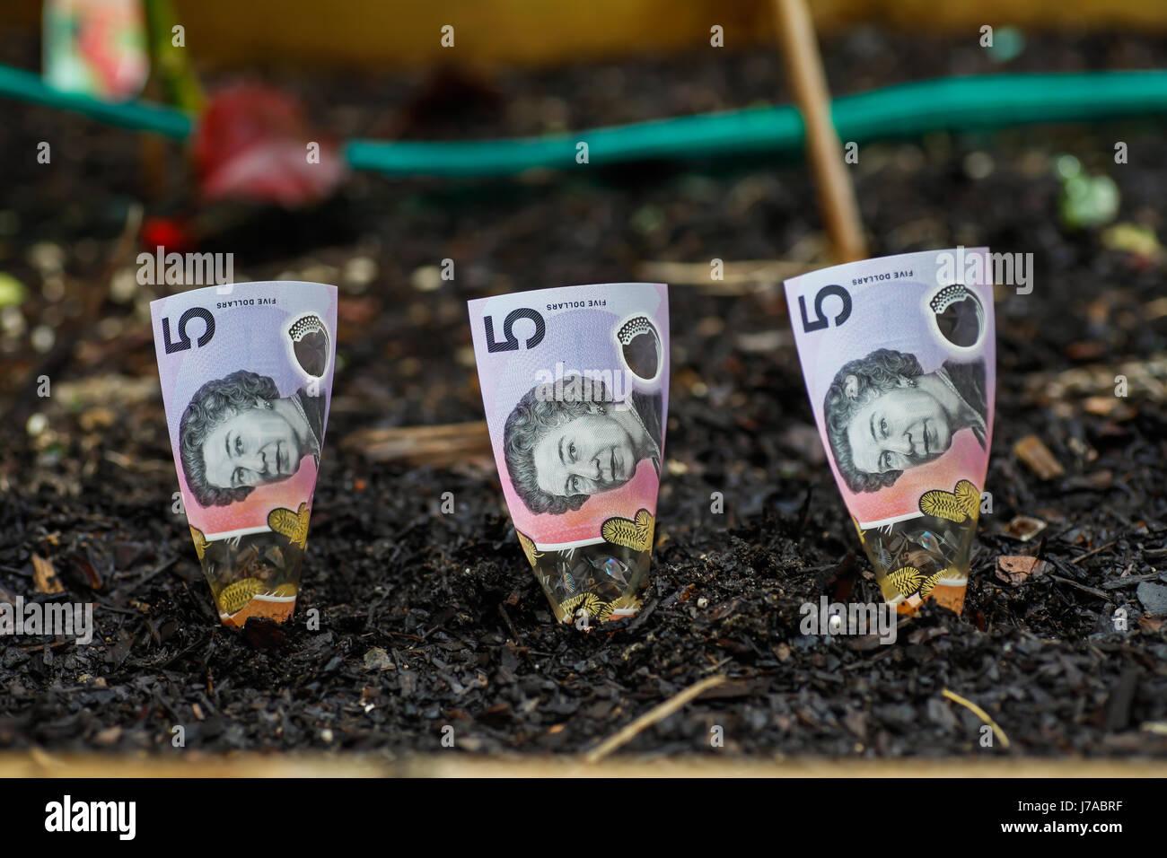 Planting Australian money in Garden Bed - Stock Image
