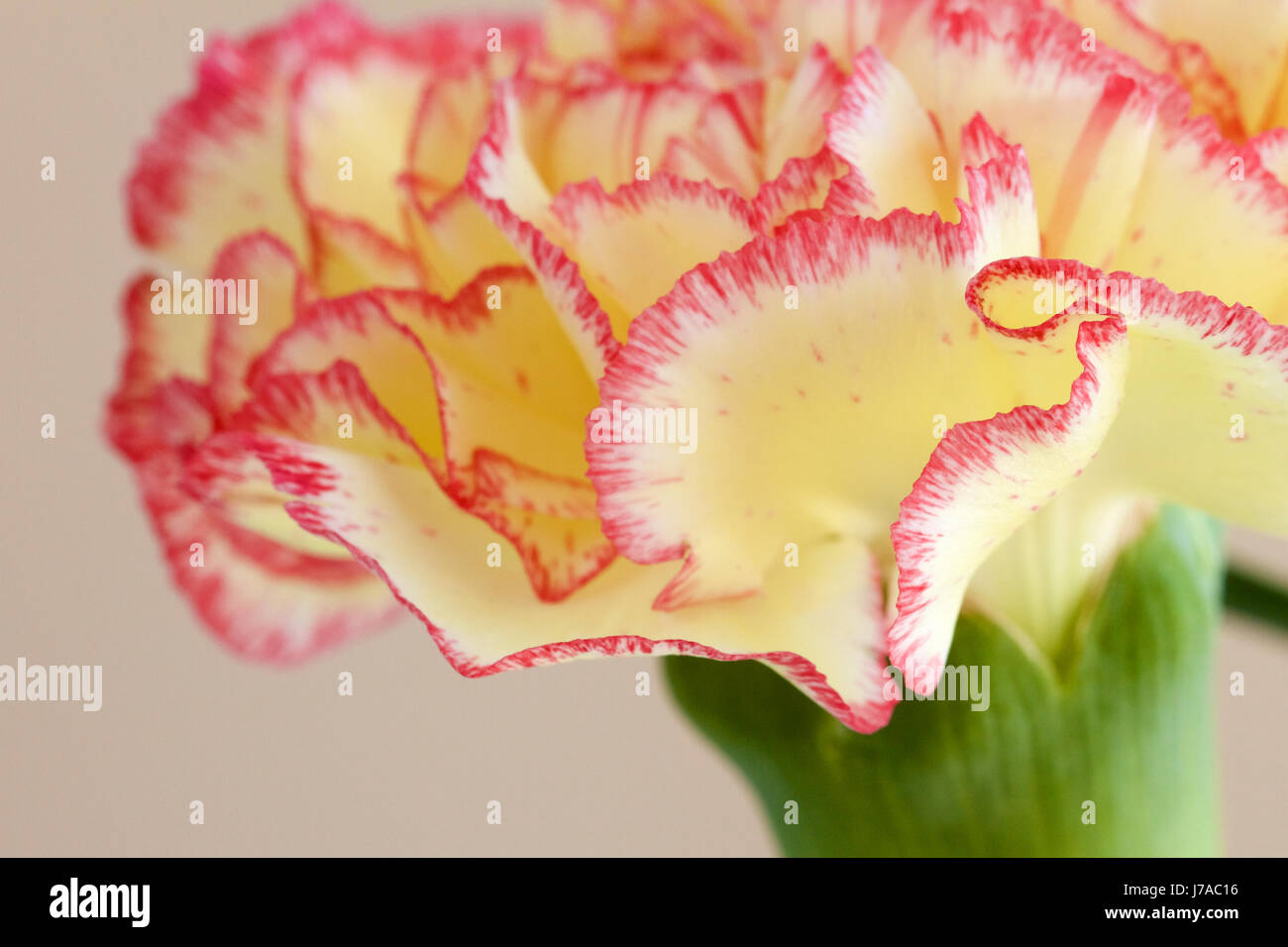 Yellow And Pink Carnation Flower Macro Shot Stock Photo 142214498