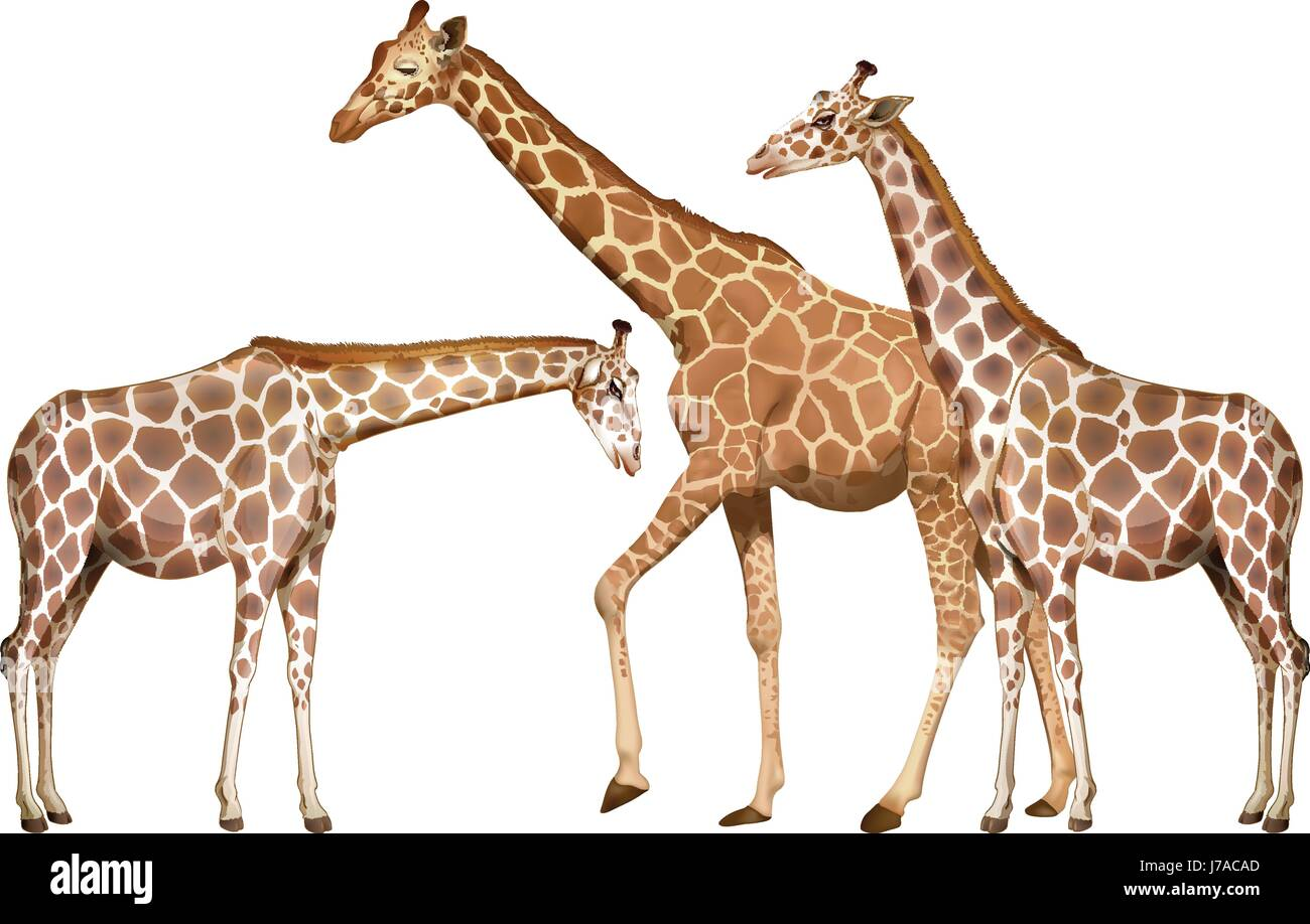 Three tall giraffes on white background illustration - Stock Vector